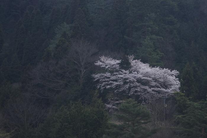 山の一本桜