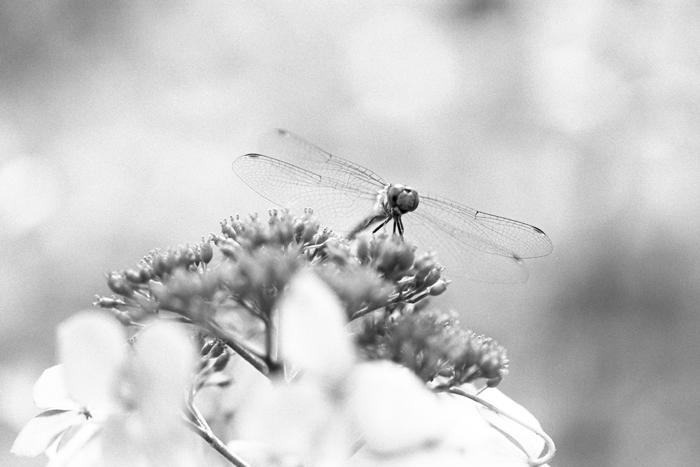 真夏の蜻蛉2