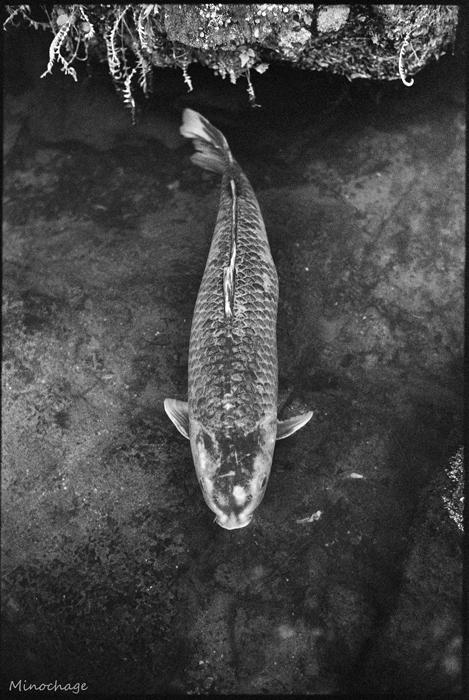 石山寺の鯉