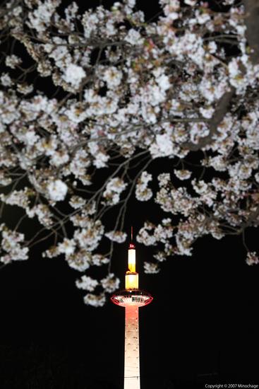 京都タワー&桜