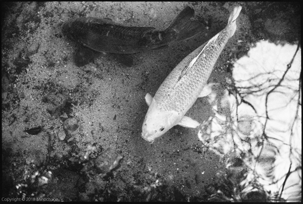 石山寺の鯉(2)