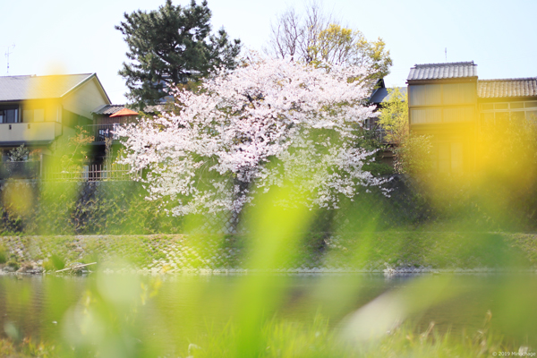鴨川の春2019