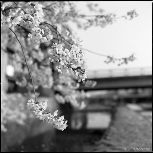 ハッセルで撮った2019年の桜(鴨川)