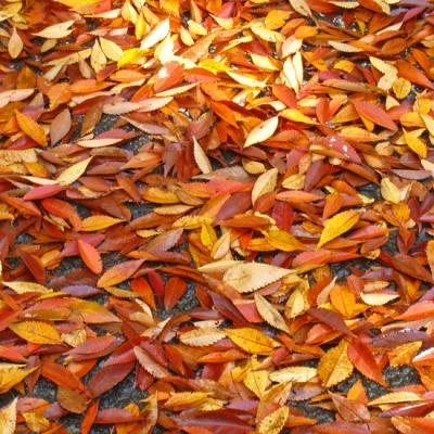 オレンジ落ち葉