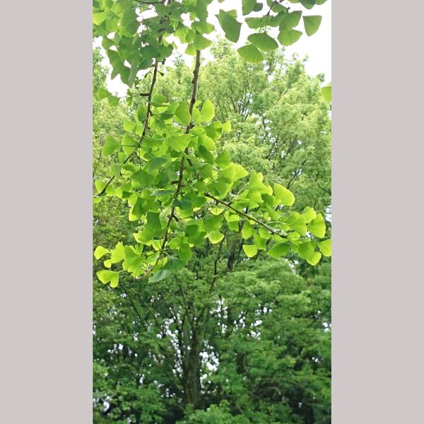 緑地公園のイチョウの木 新緑