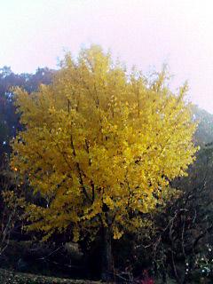 裏山のいちょうの木