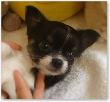 チワワの子犬1