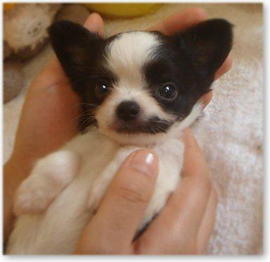 チワワの子犬2