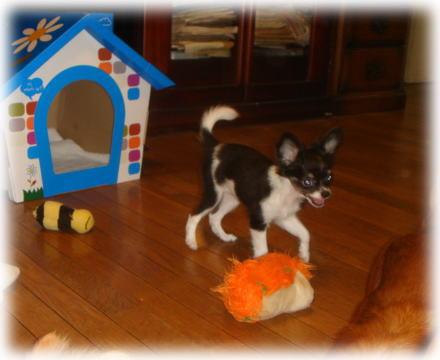 チワワの子犬 B&Tホワイト