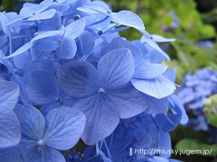 鎌倉 成就院 紫陽花1