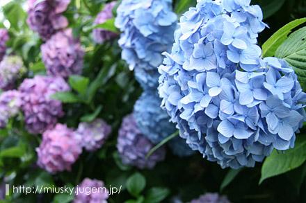 鎌倉 成就院 紫陽花3