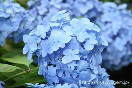 鎌倉 成就院 紫陽花4