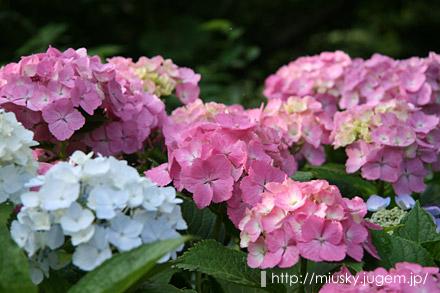 鎌倉 成就院 紫陽花5