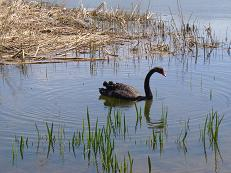 黒鳥(ブラックスワン)