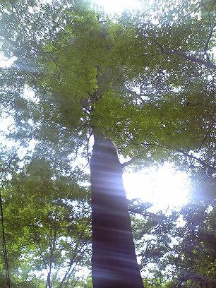 犬鳴山の杉