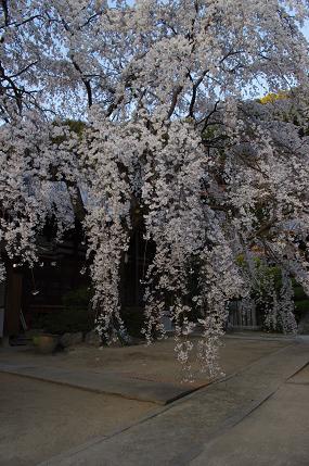 山中渓の枝垂れ桜