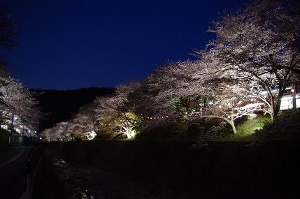 山中渓の桜(ライトアップ)