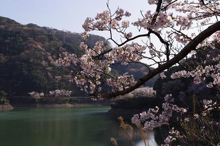 堀河ダムの桜その1