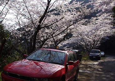 堀河ダムの桜その2