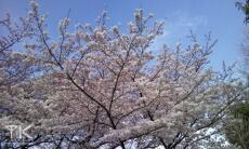 桜 OMNIA