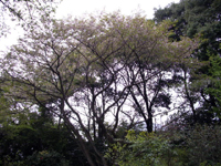 静御前桜(宇都宮)
