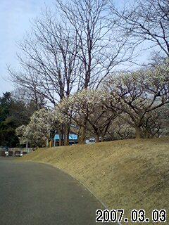 八幡山公園梅林