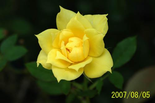 となりのバラ