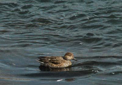 田川の鴨1