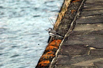 田川の野鳥2