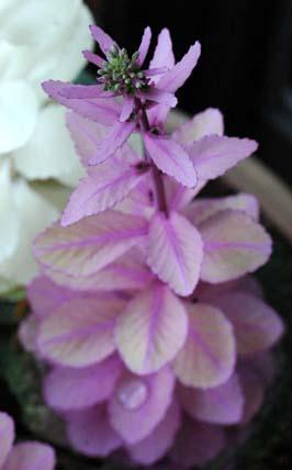 葉ぼたん(紫)