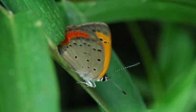 鶴田沼緑地の蝶1