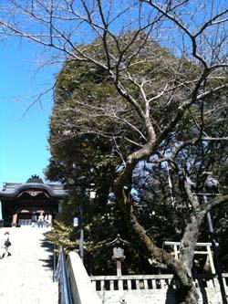二荒山神社の桜2 250P
