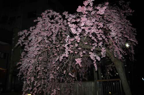 釜川の桜2