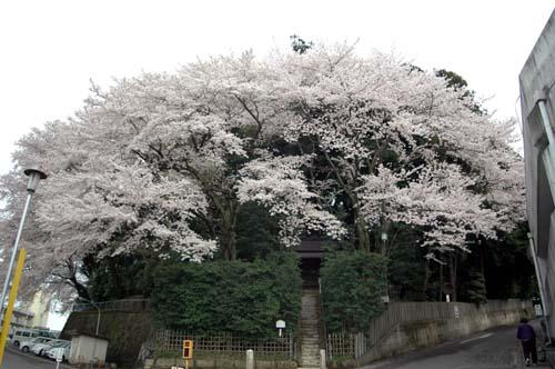 二荒山神社西の桜