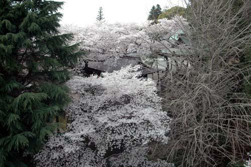 二荒山神社の廻廊と神楽殿の桜