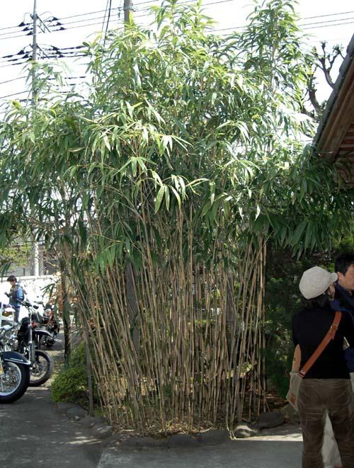 歳三手植の矢竹