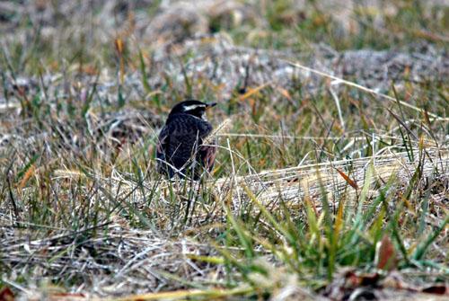 牧草地の鳥