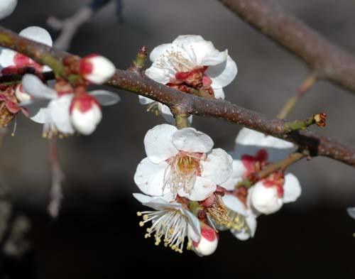 釜川の梅の花びら
