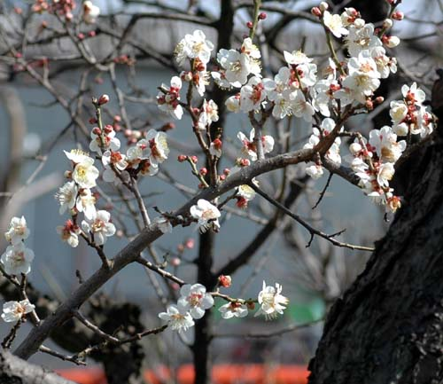 釜川梅の枝