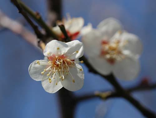 梅の花びら「
