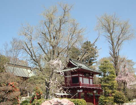 満福寺 と桜