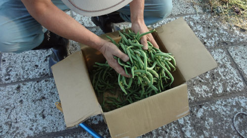 インゲンの収穫