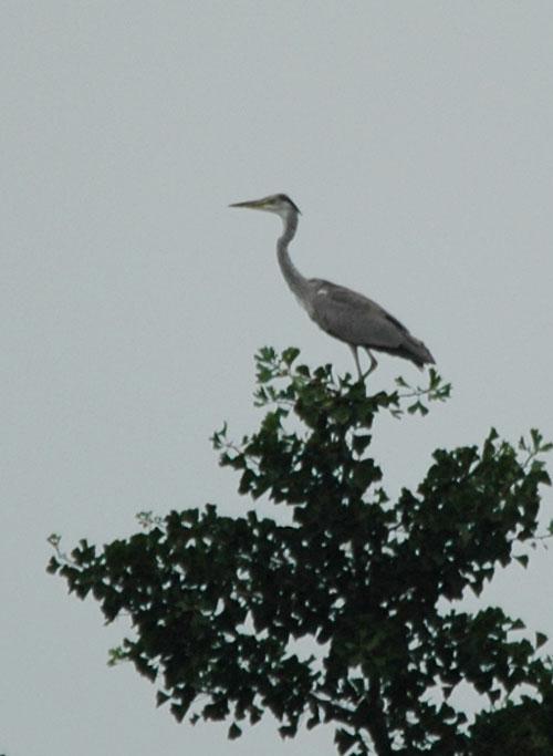 木に留まる青鷺