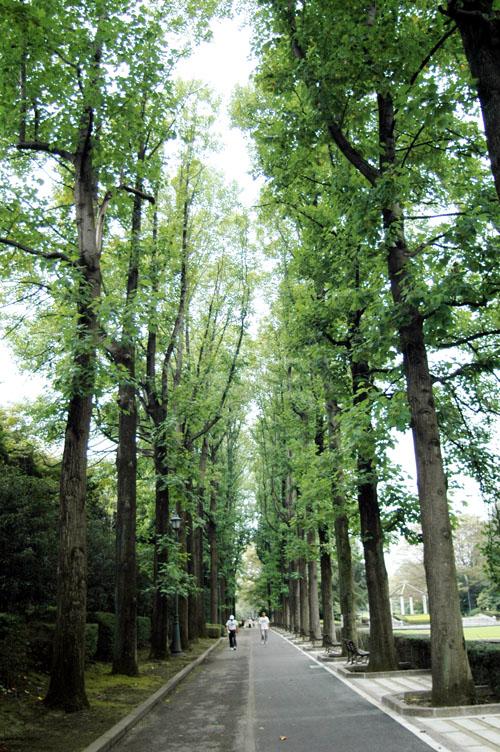 ユリノキ並木