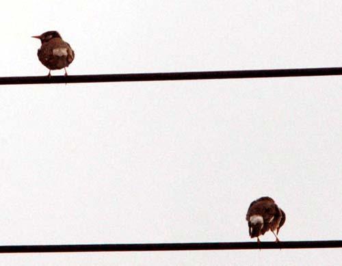 電線の野鳥