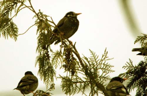 食肉市場の野鳥