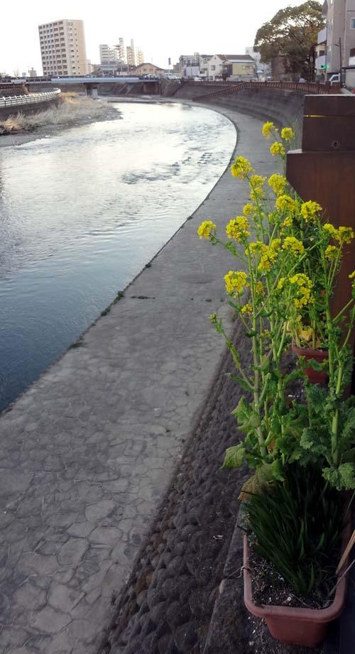 田川と菜の花