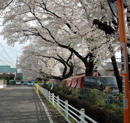 4月13日新川桜