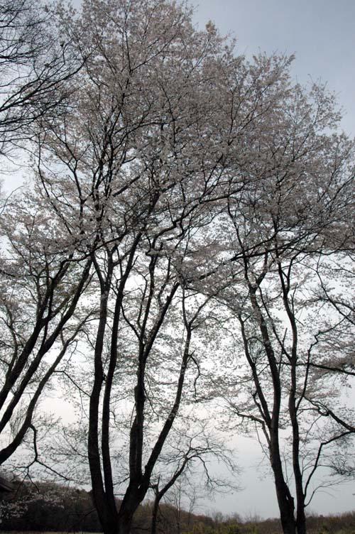 鶴田沼の桜2
