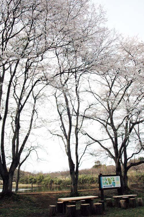 鶴田沼桜4